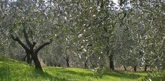 Olivi comunali, Calenzano